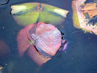 Overwintering Waterlilies
