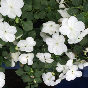 Shade garden tips part iii nelson water gardens and nursery you can brighten a dark shady area by using white variegated plants or shade loving plants with white flowers mightylinksfo