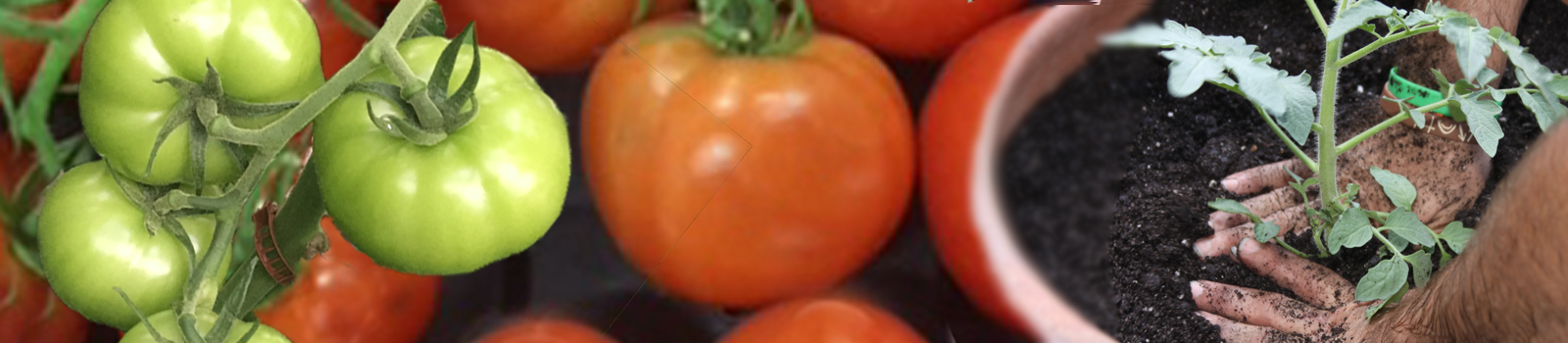 Huge selection of tomato plants available now!