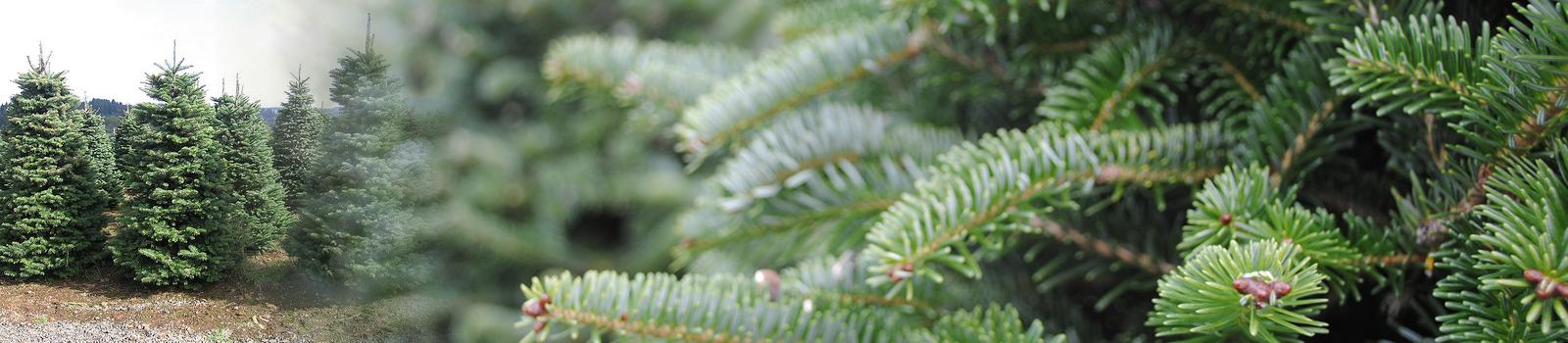 Christmas Trees a coming…..